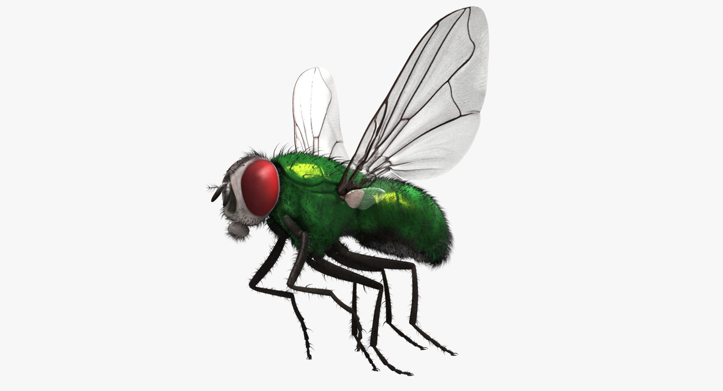 3d model lucilia sericata common green