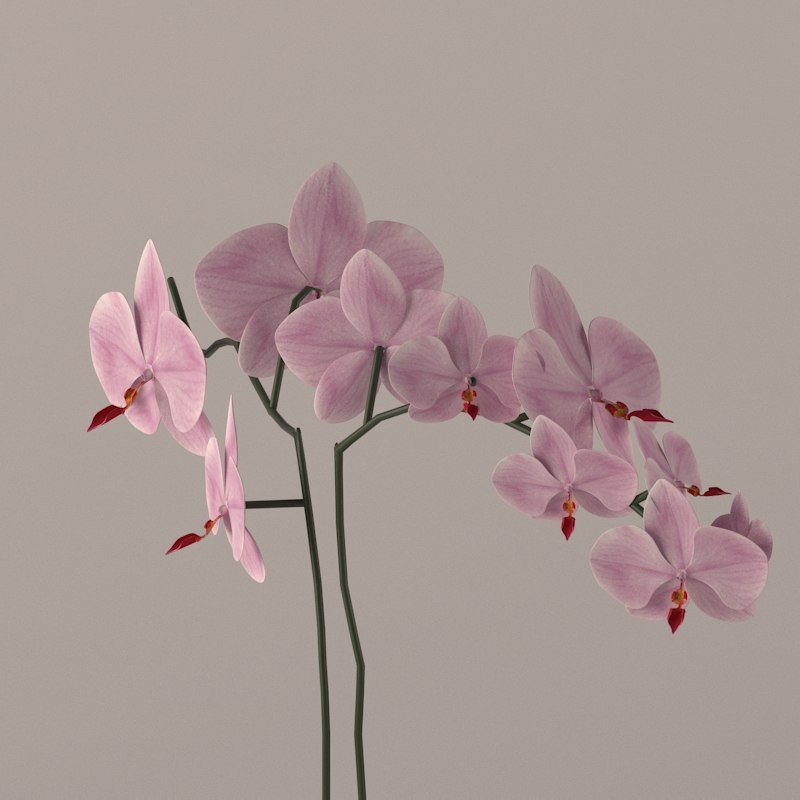 3d light orchid model