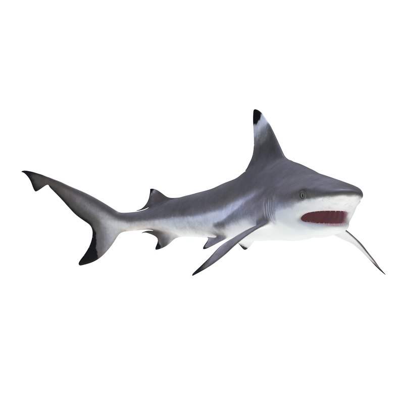 blacktip reef shark rigged max