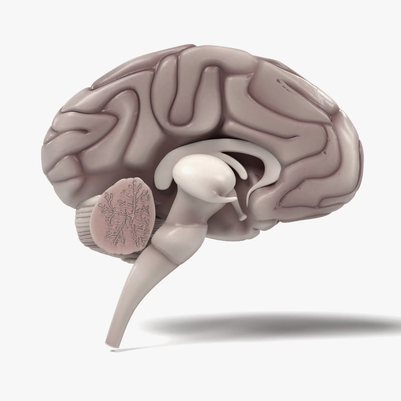 brain section 3d obj