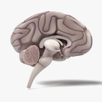 brain section 3d obj