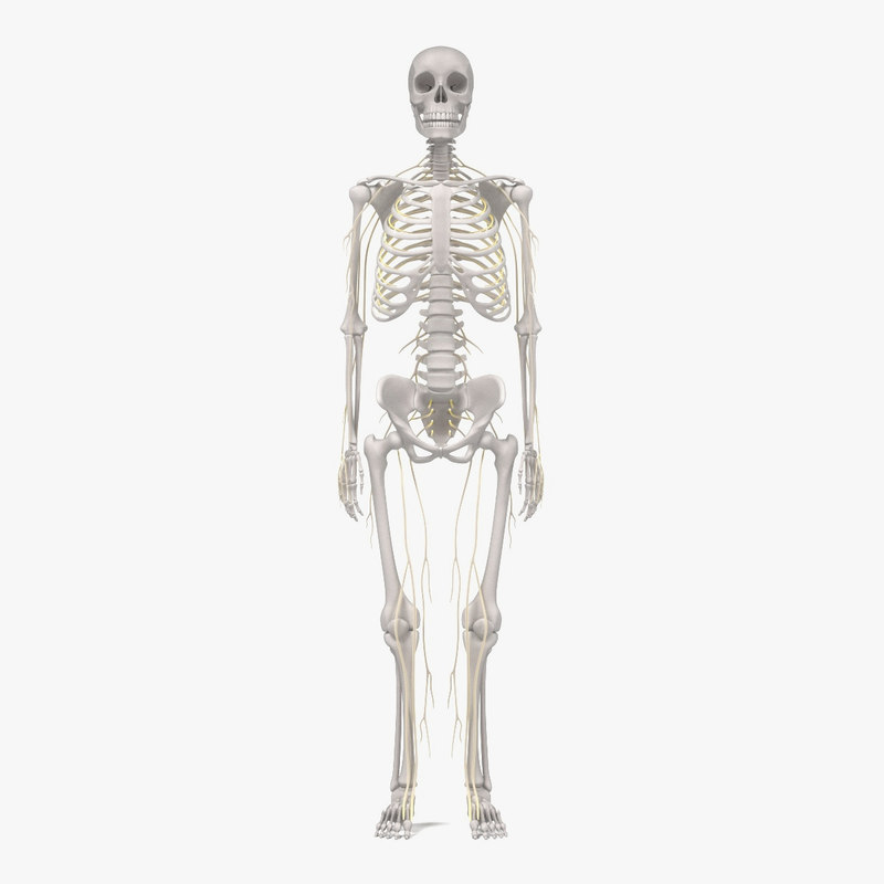 3d nervous skeleton model