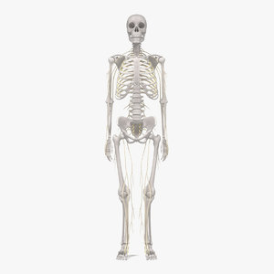 3d nervous skeleton model
