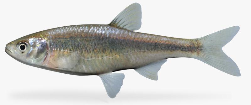 3d model of lythrurus umbratilis redfin shiner