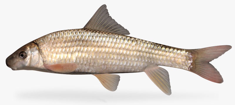 3d moxostoma macrolepidotum shorthead redhorse