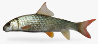 3d moxostoma breviceps smallmouth redhorse model