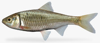 x luxilus chrysocephalus striped shiner