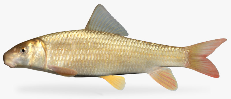 3d moxostoma carinatum river redhorse