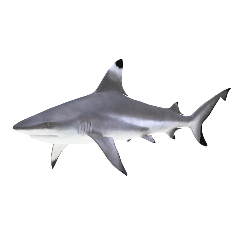 blacktip reef shark 3d model