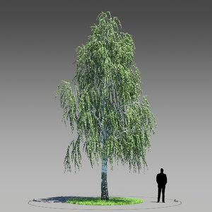 3d model birch tree betula pendula