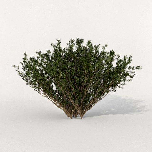 max bush thuja