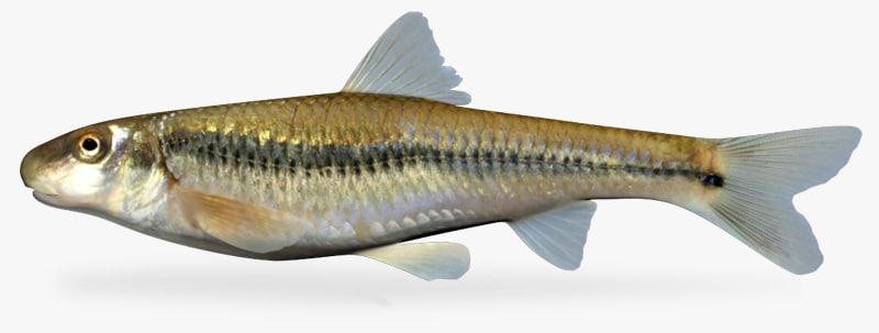 3d model phenacobius mirabilis suckermouth minnow