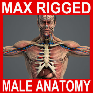max rigged complete male anatomy