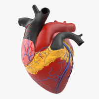 anatomy heart medical plastic 3d model