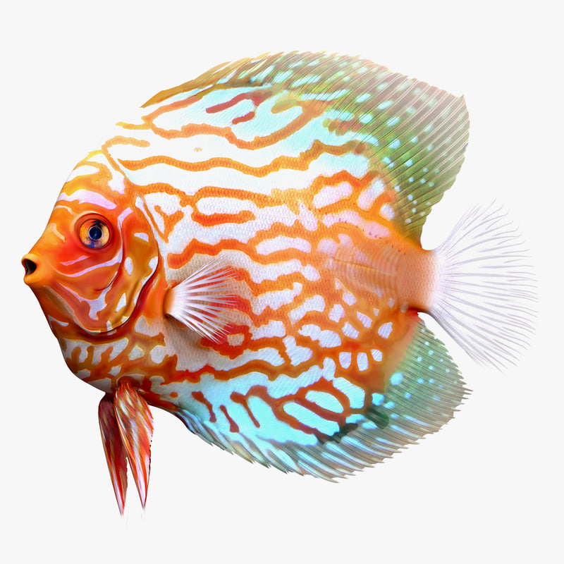max symphysodon fish rigged