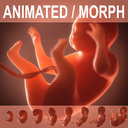 3d model Human embryo, fetus. Growth animation.(realtime ready)
