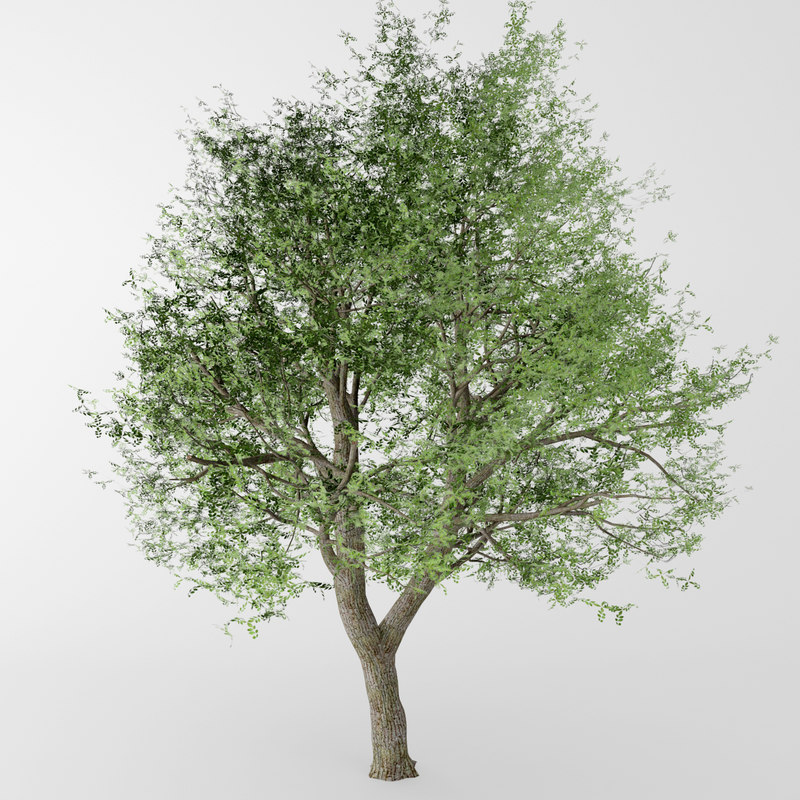 max deciduous tree