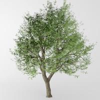 max deciduous tree