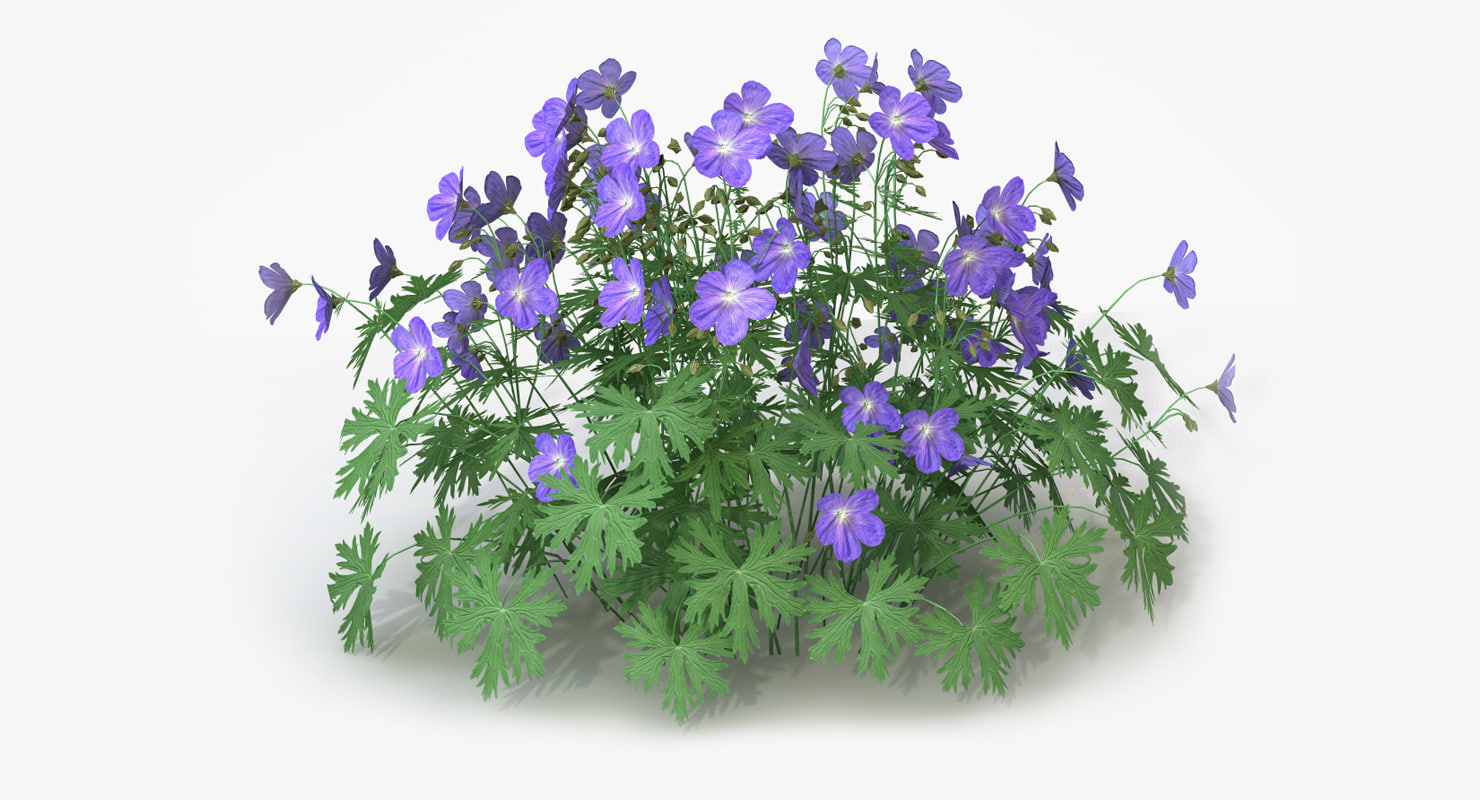 perennial geranium flowers 3d model