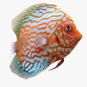 symphysodon fish pose 2 c4d