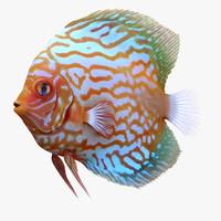 Symphysodon Fish