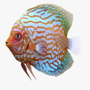 symphysodon fish 3d c4d