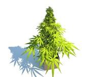 max marijuana plant