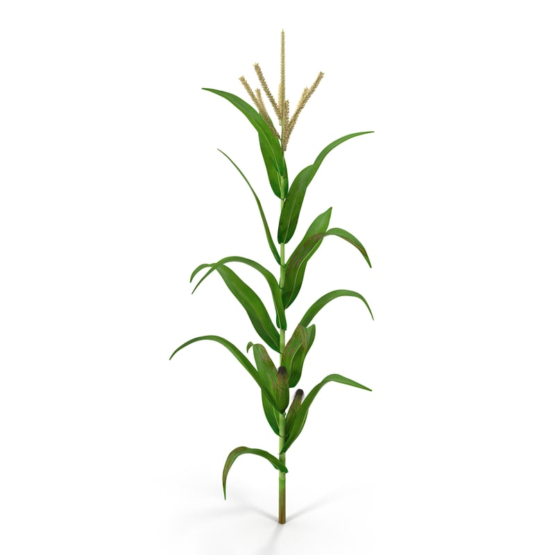 corn plant 3d model