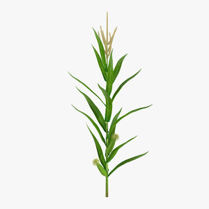 3d model young corn plant