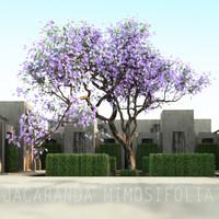 JACARANDA MIMOSIFOLIA 3