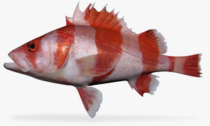 3d model flag rockfish