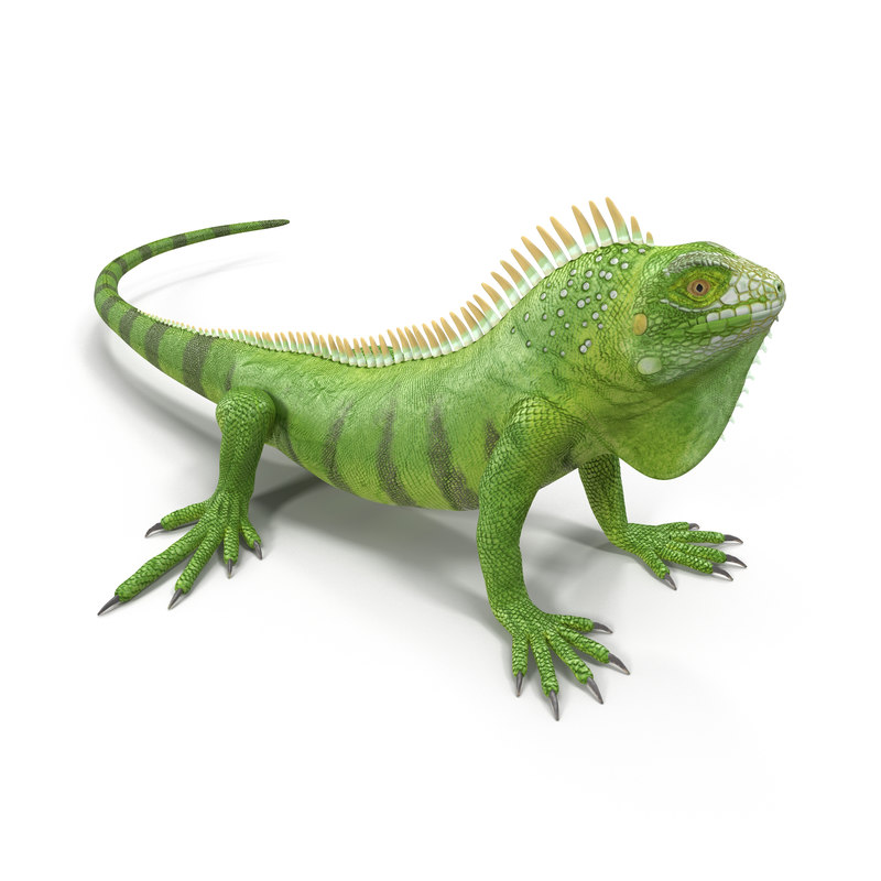 green iguana pose 3 3d model