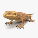 Central Bearded Dragon 3D models