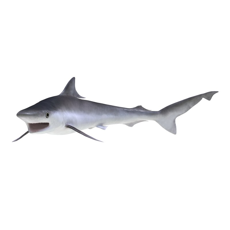 milk shark pose 2 3d model