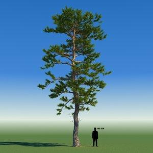 3d model tree japanese pine