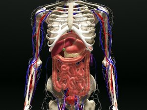entire human body internal organs 3d model