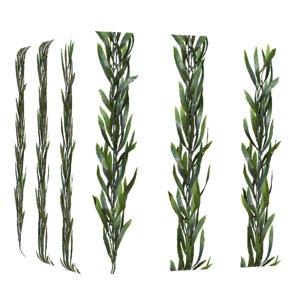 Long Kelp