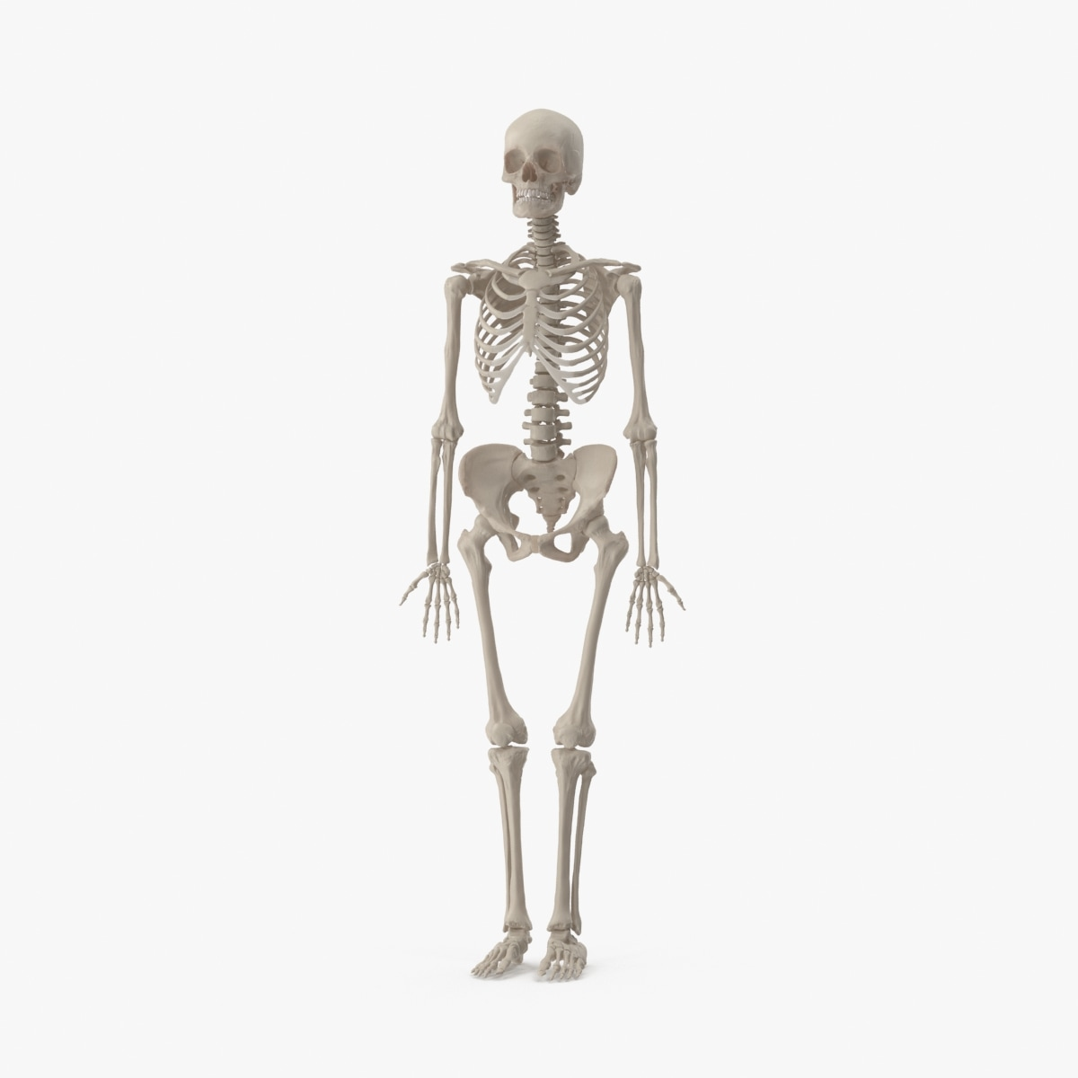 female skeleton 3d model
