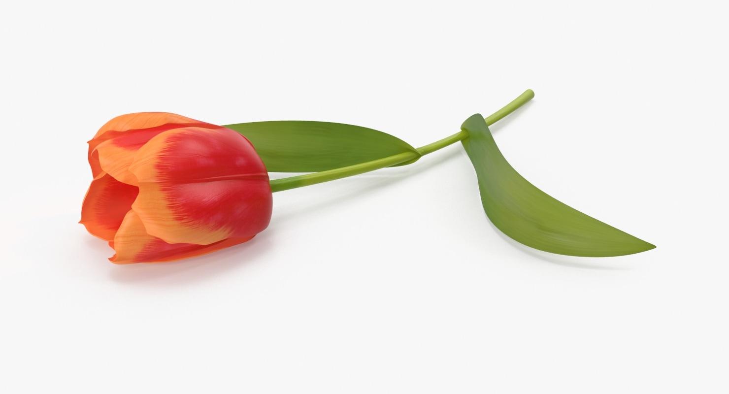 3d tulip
