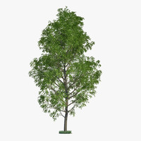 3d model poplar tree