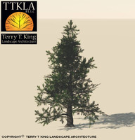 colorado spruce evergreen tree 3ds