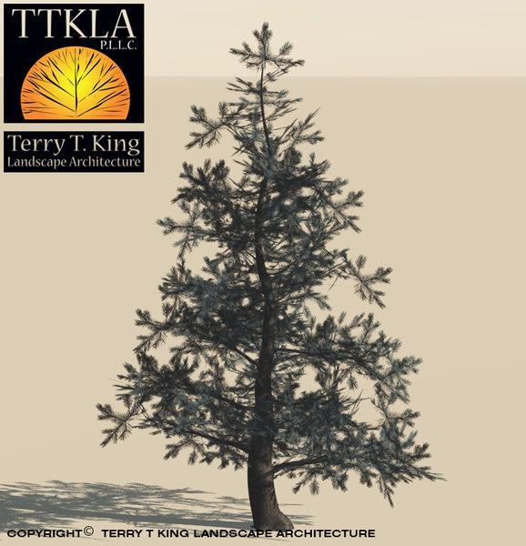 colorado spruce evergreen tree obj