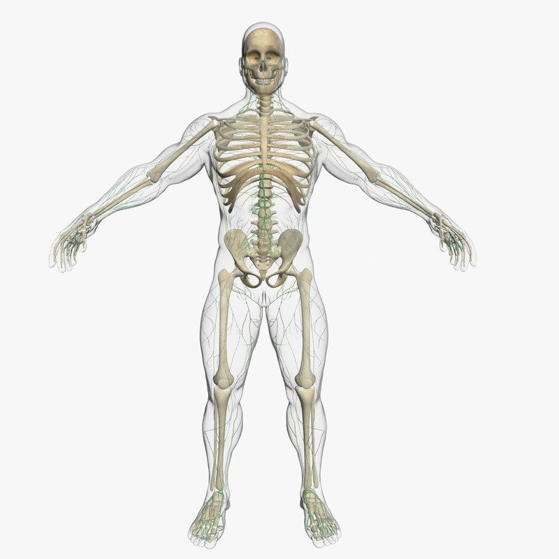 Lymphatic System with Skeleton 3DSmax