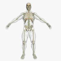 lymphatic skeleton body 3d model