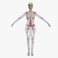 Circulatory System with Skeleton Female 3DSmax