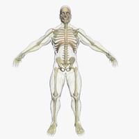 3d max central nervous skeleton