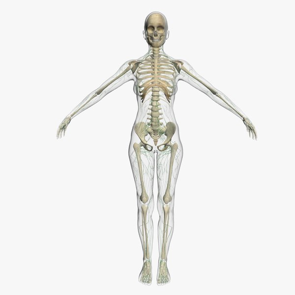 3d lymphatic skeleton female model