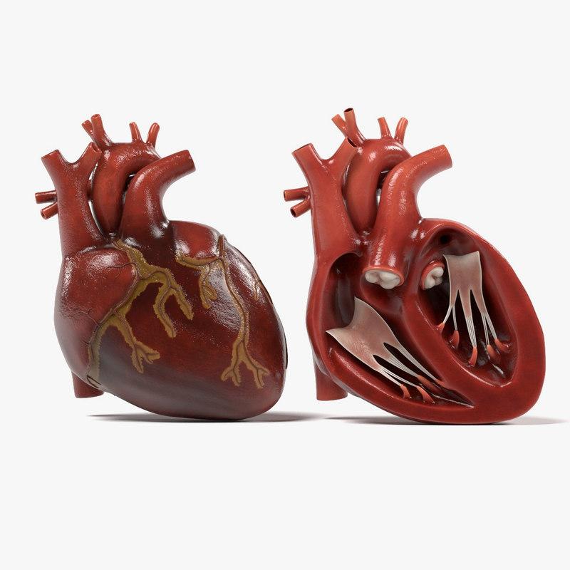 3d human heart section