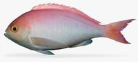 3d x pink maomao caprodon longimanus