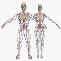 Sistema circulatorio con Skeleton Combo 3DSmax